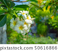 White Frangipani flowers, blooming flowers, 50616866