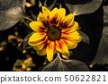 Sunflower in yellow and green near Mantova 50622821
