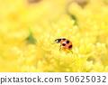 노란 산야초의 꽃에서 먹이를 찾아 무당 벌레 50625032
