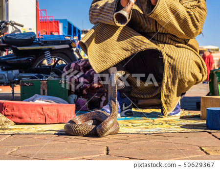 Snake charmer plays music for his cobra at the Jemaa el-Fnaa square in Marrakesh 50629367