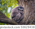 Silvery gibbon also known as Hylobates moloch sitting on a tree 50629438