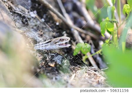 Shimate蛇 50631156