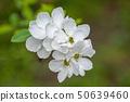 Exochorda Racemosa Pearlbush Flowers 50639460