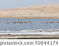 Flamingos  in Paracas, Peru. 50644174