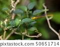 红腹细蟌(Ceriagrion auranticum ryukyuanum Asahina, 196 50651714