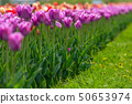 Spring fields of blooming tulip. Beauty outdoor 50653974