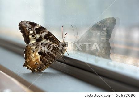 白斑眼瞼蝴蝶,白瞼眼瞼蝴蝶,白斑眼瞼蝴蝶,天野眼蝴蝶 50657090