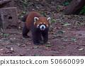 red panda animal  (Ailurus fulgens) Chengdu China 50660099