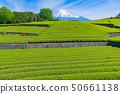 ไร่ชาในโอไดบะเมืองฟูจิจังหวัดชิซุโอกะ 50661138