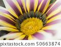 Big Kiss White Flame gazanias with bright white and purple petals around golden centre. Macro shot. 50663874