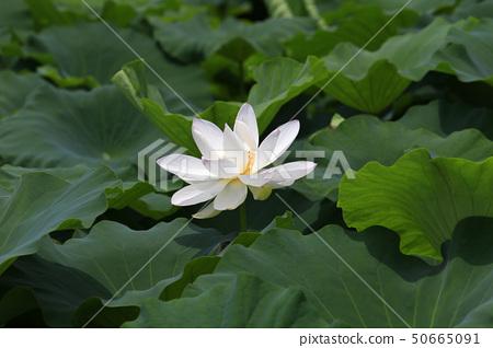 Kite, lotus, Buddhism 50665091