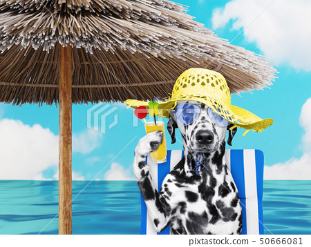 Cute dalmatian dog resting and relaxing on the beach chair under umbrella with juice at the beach 50666081