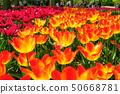 Tulip fields in Netherlands 50668781