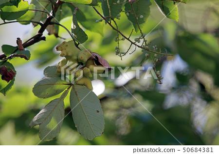 Nurde Fusinoki, catechin, beech, biloba, nuldephi aphid, insect gall, Nurdebo aphid 50684381