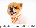 Isolated closeup portrait Pomeranian dog smiling 50686361