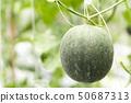 Closeup fresh mellon on tree branch in the farm 50687313