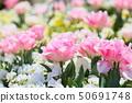 튤립 꽃 50691748