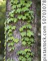 덩굴이 감긴 나무 50703078