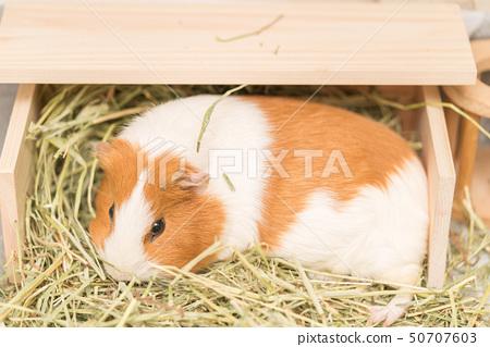 豚鼠吃草 50707603