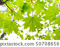 Young green fresh bright maple leaves under the 50708656