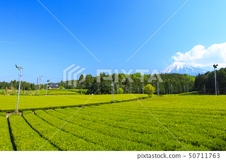 차밭 (초여름) 50711763