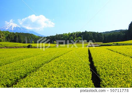 차밭 (초여름) 50711778