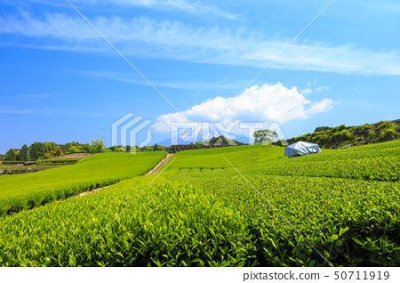 차밭 (초여름) 50711919