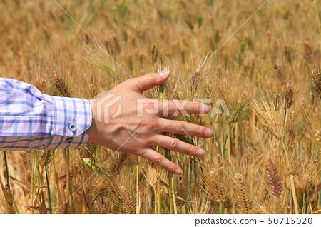 Barley with a good harvest 50715020