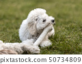 White Poodle puppy playing in the garden 50734809