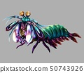 Peacock Mantis Shrimp 50743926
