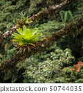 Bromeliads in the rainforest 50744035