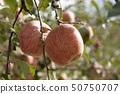 蘋果樹 50750707