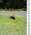 Raccoon 50751525