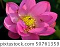 고대 연꽃과 꿀벌 50761359