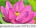 古老蓮花和蜂 50761360