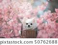 카와 벚꽃과 치와와 50762688