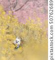 만개 한 유채 꽃과 벚꽃과 치와와 50762689