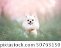 벚꽃과 미소의 치와와 50763150