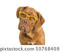 Cute bordeaux dogue portrait wearing glasses 50768409