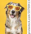 Australian shepherd with glasses on yellow 50768413