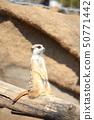 貓鼬獨自觀看並獲得許可/合作:橫濱動物園Zourasia 50771442