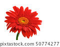 Red gerbera flower on white background 50774277