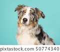 Portrait of a pretty odd eyed australian shepherd 50774340