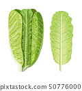 Fresh green Romaine Lettuce head and leaf, Lactuca 50776000