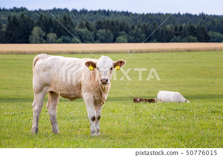 Young bull standing at a pasture. Farm animals. 50776015