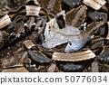 Venomous Bush Viper (Atheris squamigera) on tree 50776034