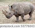 Southern white rhinoceros (Ceratotherium simum 50776043