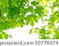 Fresh green maple leaves 50776074
