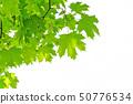 Fresh green maple leaves 50776534