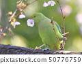 벚꽃을 먹는 야생 와카케 폰 세이 잉꼬 여성 50776759